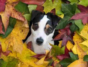 jack russell-gallery-1