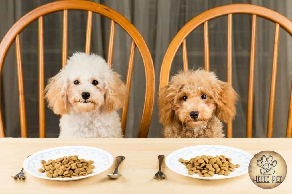 Is-poodle-a-picky-eater