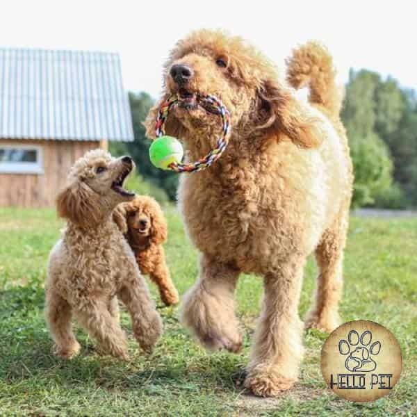 types_of_poodle_sizes_and_mixes